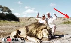 For true animal lovers everywhere, this is sweet revenge.The American woman and her idiot South African poacher who is adjusting the camera for the cowardly photo op, both end up getting their asses handed to them by another lion approaching from behind. Karma takes it's course as this shocking video proves. Sad to see any human life taken, but when you play a stupid game like this, then expect the possibility of revenge biting you, literally, in the ass.