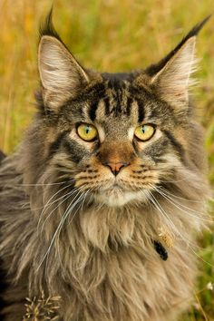 Majestic Maine Coon                                                                                                                                                     More