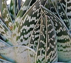 Aloe variegata ~ 'Partridge Breast Aloe' | Flickr - Photo Sharing!
