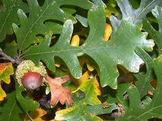 fagaceae guercus macrocarpa - Google Search
