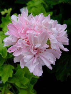 Geranium 'Priory Star' Pelargonium