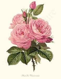 La Vierzonnaise Rose Art Print Restored #vintage #flower #art  id=6012