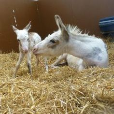Summer and her newborn miniature foal