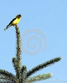A summer visitor to Manitoba, the brightly coloured gold finch perches at the tip of a green pine tree in southern Manitoba.  Bright blue sky behind.