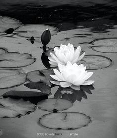 Water lilies - reminiscent of the Lotus Dome - Adrian Mendoza, author of The Kaleidoscope Lily Pond, Water Garden, Fruit Garden, Love And Light, Belle Photo, Mother Nature, Planting Flowers, Flowers Garden, Beautiful Flowers