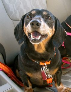 That's a happy doxie! He will be 10 this year and still energetic and adorable! - Imgur
