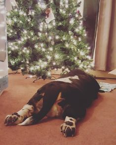"""366 Likes, 1 Comments - Basset Hound (@bassethound.dogs) on Instagram: """"Helping the humans decorate the tree. """"Helping."""" Follow us for daily Basset pics! BEST Basset…"""""""