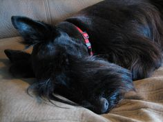 SUPERB. | 21 Reasons Scottish Terriers Are The Champions Of Our Heart