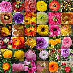 1. Ranuncula, 2. ranunculas, 3. little frog flower (ranuncula) up close, 4. Ranuncula, 5. Red ranuncula, 6. Ranunculus, 7. pale ranunculus, 8. Purple Ranunculus, 9. Ranunculus group, 10. Ranunculus, 11. Ranunculus, 12. Orange ranunculus, 13. Ranunculus (orange), 14. Ranunculus (translucent), 15. Ranunculus, 16. Ranunculus, 17. Ranunculus, 18. Ranunculus Petals, 19. ranunculus, 20. The orange ranunculus, 21. Yellow Ranunculus Opening, 22. Purple Ranunculus, 23. Ranunculus, 24. Persian…