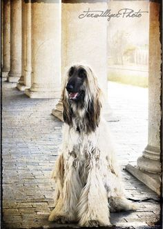 afghan hound - pure individuality is what I love about these dogs