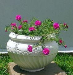 Como cuidar de onze-horas. As flores onze-horas, também conhecidas por Portulaca Grandiflora é uma planta nativa da América do sul e florífera, cujas flores tem a curiosa característica de florescer todos os dias próximo ao mei...