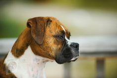 Best Guard Dog Breeds, Best Guard Dogs, Big Dog Breeds, Dog Vs Dog, Boxer Dog Puppy, Boxer Dogs Facts, Dog Facts, Animal Facts, Cesar Millan