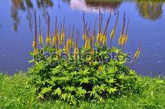 Ligularia przewalskii - Przewalski kobarpea