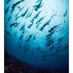Almost all of the Galapagos Islands are preserved as a national park. Located at a major intersection of several ocean currents, these islands are home to a staggering array of marine life, nearly 20 percent of which is found nowhere else. Among a number of incredible sights, it's possible to witness giant schools of hammerhead sharks, like this encounter photographed by @simonjpierce.