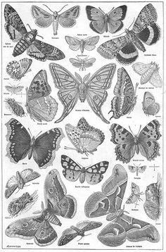 Papillons 2 - Larousse universel - 1922