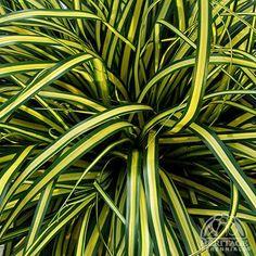 Carex Oshimensis Everoro x 1 Plant Ornamental Grass