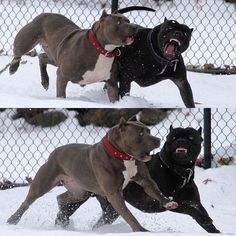 Check what new we have in store Love pitbulls Scary Dogs, Funny Dogs, Animals And Pets, Baby Animals, Black Pitbull, Cane Corso Dog, Huge Dogs, Pit Bulls, Cute Funny Animals