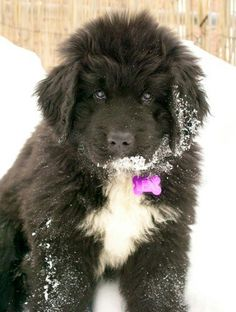 Newfoundland Dog--- my dog, Bart, is half Newfie, and he makes me want another!!!