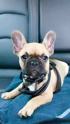 Fawn Frenchie with black mask (Harper). Baby Puppies, Bulldog Puppies, Cute Puppies, Cute Dogs, Dogs And Puppies, Fawn French Bulldog, French Bulldogs, Cute Baby Animals, Animals And Pets