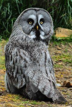 Beautiful Owl, Beautiful Butterflies, Animals Beautiful, Cute Animals, Beautiful Things, Owl Photos, Owl Pictures, Strix Nebulosa, Great Grey Owl
