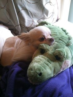My 5 year old Chihuahua, Chester, has fallen in love. He growls if I come between them. - Imgur