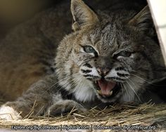 Little Dove Bobcat getting ready for a catnap.