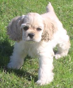 Puppies for sale. Breeder of AKC Cocker Spaniels, located in North Texas American Cocker Spaniel, Cocker Spaniel Puppies, Cocker Dog, Animals And Pets, Baby Animals, Cute Animals, Pet Dogs, Dog Cat, Doggies