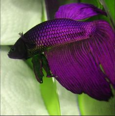 Beautiful purple betta