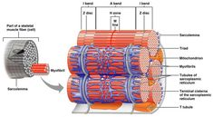 Structure of a muscle sarcomere (contractile unit) Nursing Notes, Nursing Tips, Medical Massage, Nursing Mnemonics, Musculoskeletal System, Muscular System, Skeletal Muscle, Muscle Anatomy, Anatomy And Physiology