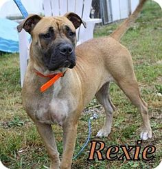 Livonia, MI - Mastiff/Boxer Mix. Meet Samantha, a dog for adoption. http://www.adoptapet.com/pet/13609558-livonia-michigan-mastiff-mix