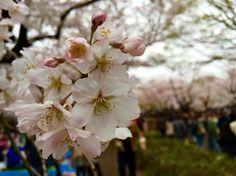 Sakura in Yoyogi park.