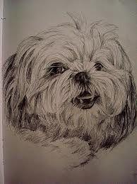 shih tzu drawings in pencil - Google Search