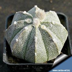 Astrophytum hybrid CO