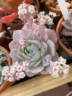 🌱 let's green it 🌱 . 💚 🌱Mention your friends who love plants 🌱 . Blooming Succulents, Cacti And Succulents, Planting Succulents, Cactus Plants, Garden Plants, Indoor Plants, House Plants, Planting Flowers, Echeveria