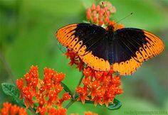 Male Diana Fritillary - my favorite butterfly! :D