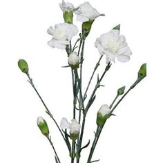 Bridal White are a white variety of multi-headed Spray Carnations. 60cm tall & wholesaled 10 stems per wrap.