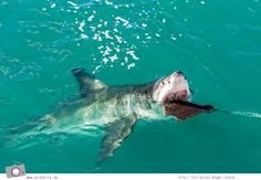 Südafrika: Tauchen mit dem Weißen Hai