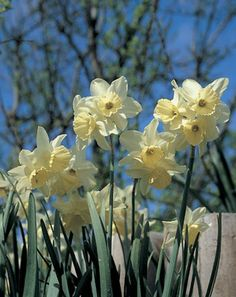 Narcissus Tresamble Narcissus Triandrus Tresamble is an heirloom narcissus dating to pre Daffodils are the name we all associate with these spring glories but the botanical genus is Narcissus.