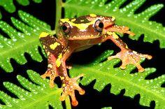 Treefrog.