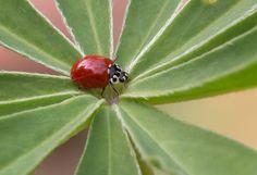 The little western blood-red ladybird beetle (Cycloneda polita)