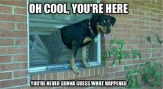 ha! My black lab growing up actually did this. Broke a window even and then had his arm stuck in the blinds. Poor thing. Hilarious though cause he didn't get hurt.
