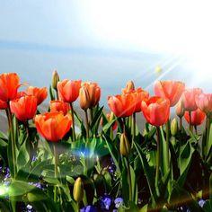 Happy sunny saturday... #tulipani #tulips #tulipanomania #lungolago #lungolagoBardolino #lungolagofiorito #Bardolino #LagodiGarda #Gardalake #Gardasee #UrlaubamGardaSee #vacationapartments #apartmentsforrent #AK #theAccomodationKey #AKApartments #AKBardolino #AKApartmentsBardolino #AlysandKateApartments #AlysandKateApartmentsBardolino #instagarda #photoCG #visitlagodigarda