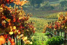 Fall vineyards in Dry Creek Valley.