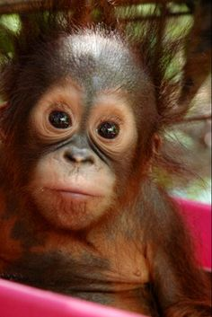 This Adorable Baby Orangutan,Born at the Houston,Texas Zoo, Was Rejected By Her Mother.Zoo Staff Are Hand Rearing Her And Say She Is Doing Remarkably Well❤ Cute Baby Animals, Animals And Pets, Funny Animals, Strange Animals, Nature Animals, Araquem Alcantara, Los Primates, Monkey See Monkey Do, Baby Orangutan