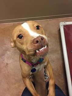 Pit Bull Terrier Mix Dog for adoption in Philadelphia, Pennsylvania - Nodra