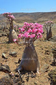 Image from http://st.depositphotos.com/1245056/4500/i/950/depositphotos_45009563-Yemen-Socotra-bottle-trees-desert-rose---adenium-obesum-on-Mumi-plateau.jpg.