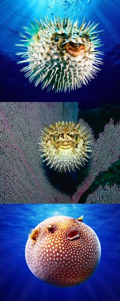 Blowfish are the world's happiest creatures.
