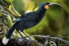 Huia (Heteralocha acutirostris, Gould, - extinct wattlebird in New Zesland, artist image. Most Beautiful Birds, Animals Beautiful, Pretty Birds, Animals And Pets, Baby Animals, Funny Animals, Evolution, Greek Pantheon, Birds Online