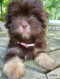 The cutest havanese puppies.