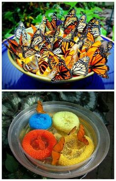 Gardening Tips Make butterfly feeder for garden easy projects) - Craftionary - Butterflies not only add to the beauty but they also pollinate our flowers. Make handmade butterfly feeder to attract butterflies to your garden with kids. Container Gardening, Gardening Tips, Gardening With Kids, Succulent Containers, Fairy Gardening, Container Plants, Vegetable Gardening, Organic Gardening, Butterfly Feeder